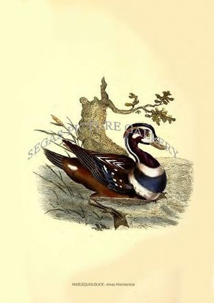HARLEQUIN DUCK - Anas Histrionica
